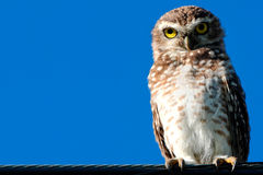 Owl on wire. In a sunny day with a clear sky Royalty Free Stock Photos