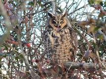 Owl Yawning aux grandes oreilles Images stock