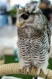 Owl With a yellow beak Royalty Free Stock Photography
