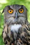Owl with yellow eyes. Owl, codger in frontal position with blur nature background Royalty Free Stock Image
