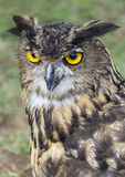 Owl with yellow eyes Royalty Free Stock Photography