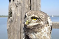 Owl, yellow eyes, in front of a river Stock Image