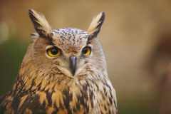 Owl with yellow eyes and warm background in Spain Stock Image