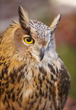 Owl with yellow eyes and warm background in Spain Stock Photo