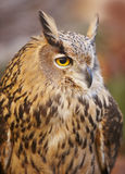 Owl with yellow eyes and warm tone background in Spain Stock Images