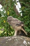 Owl Yoga Stock Images