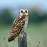 Owlen kortslutning gå i ax owlen (Asioflammeusen) Royaltyfria Foton