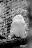 owlen perched snöig Royaltyfri Foto