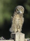 Owlet à cornes grand Photos libres de droits