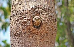 owlet που επισημαίνεται Στοκ εικόνες με δικαίωμα ελεύθερης χρήσης