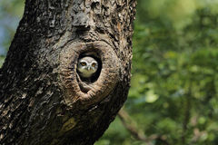 owlet που επισημαίνεται Στοκ εικόνα με δικαίωμα ελεύθερης χρήσης