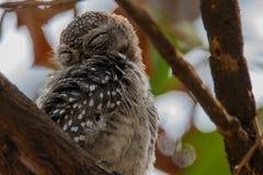 owlet που επισημαίνεται Στοκ φωτογραφία με δικαίωμα ελεύθερης χρήσης
