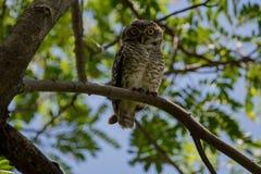owlet που επισημαίνεται Στοκ Εικόνες