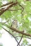 owlet που επισημαίνεται Στοκ Φωτογραφία