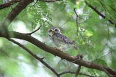 owlet που επισημαίνεται Στοκ Εικόνα