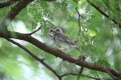owlet που επισημαίνεται Στοκ Φωτογραφίες