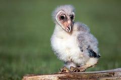 owlet σιταποθηκών Στοκ Φωτογραφία