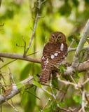 Owlet запертый африканцем Стоковые Фотографии RF