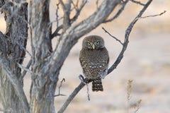 Owlet запятнанный жемчугом Стоковые Изображения
