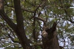 Owlet запятнанный утром Стоковая Фотография RF