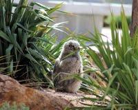 Owlet младенца Буша стоковое изображение rf