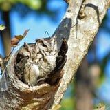 owlet Fotografia Stock