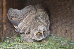 owlet стоковое фото rf