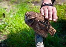Owlet . Stock Photo