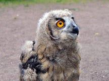 Owlet Zdjęcia Royalty Free
