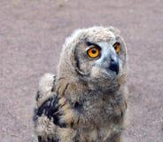 Owlet Fotografia Royalty Free