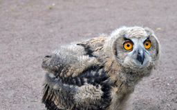 Owlet Zdjęcia Stock