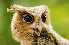 owlet Стоковые Фото