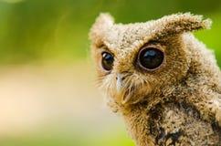 owlet Стоковые Изображения