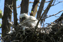 owlet στοκ εικόνα με δικαίωμα ελεύθερης χρήσης