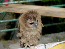 owlet photos stock