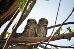 owlet Arkivfoto