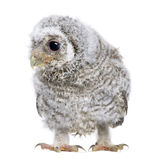 Owlet- Athene noctua (4 weeks old) Stock Photo