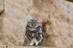 Owlet - Athene noctua Obrazy Stock