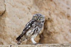 Owlet - Athene noctua Zdjęcie Stock