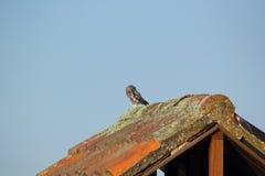 Owlet - Athene noctua obraz stock