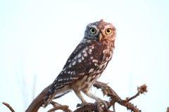 Owlet - Athene noctua fotografia stock