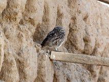 Owlet - Athene noctua Zdjęcia Stock