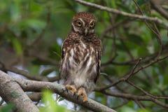 Owlet barrado asiático Imagem de Stock Royalty Free