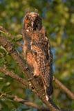 Owlet dans la lumière de coucher du soleil Image libre de droits