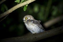 owlet dostrzegający Fotografia Stock