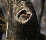 owlet dostrzegający Obraz Stock