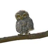 owlet dostrzegający Obrazy Royalty Free