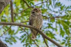 owlet dostrzegający Zdjęcia Royalty Free