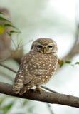 owlet dostrzegający Obrazy Stock