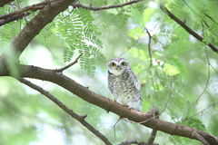 owlet dostrzegający Fotografia Royalty Free